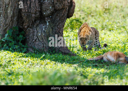 Leopard with killed antelope in Serengeti national park in Tanzania - Stock Photo