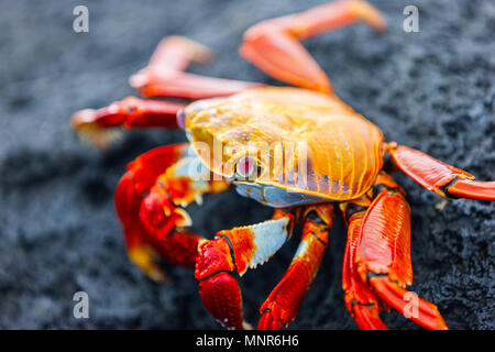 Sally lightfoot crab on a black lava rock - Stock Photo