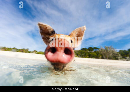 Little piglet in a water at beach on Exuma Bahamas - Stock Photo