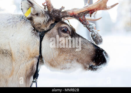 Reindeer in a winter forest in Finnish Lapland - Stock Photo