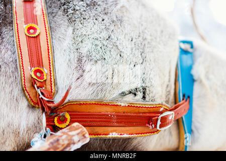 Reindeer safari in Finnish Lapland closeup of leather belt - Stock Photo