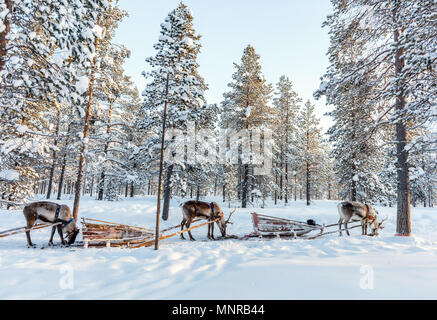 Reindeer safari in a winter forest in Finnish Lapland - Stock Photo