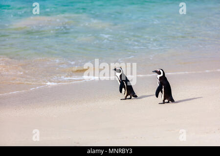 African penguins colony at Boulders beach near Cape Town in South Africa - Stock Photo