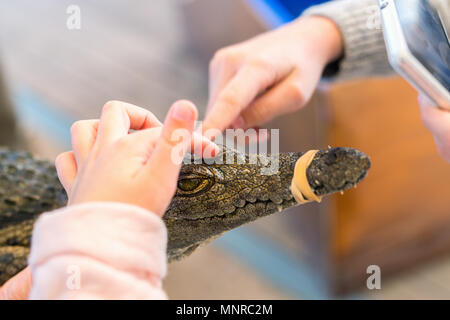 Child touching baby Nile crocodile while father holding it. - Stock Photo