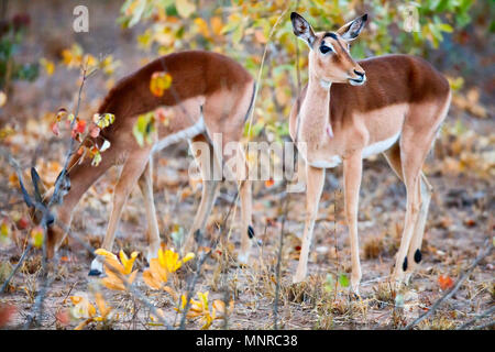 Young female impala antelopes in safari park in South Africa - Stock Photo