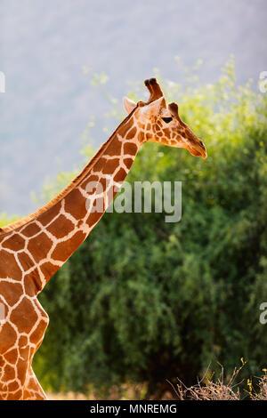 Reticulated giraffe one of Samburu special five Kenya Africa