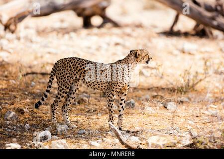 Beautiful cheetah in Samburu National park in Kenya - Stock Photo