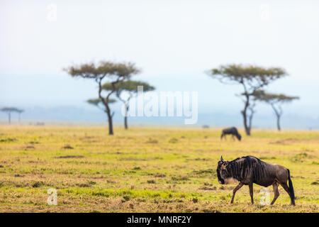 Wildebeests in Masai Mara National park in Kenya - Stock Photo