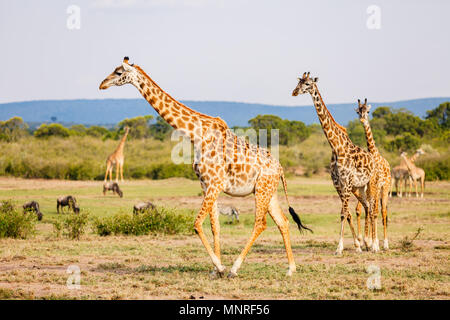 Giraffes in Masai Mara safari park in Kenya Africa - Stock Photo
