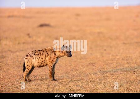 Hyena in safari park in Kenya - Stock Photo