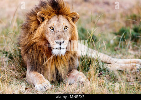 Male lion lying in grass in savanna in Africa - Stock Photo