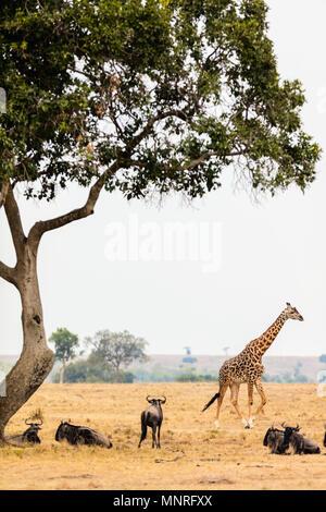 Giraffe in Masai Mara safari park in Kenya Africa - Stock Photo