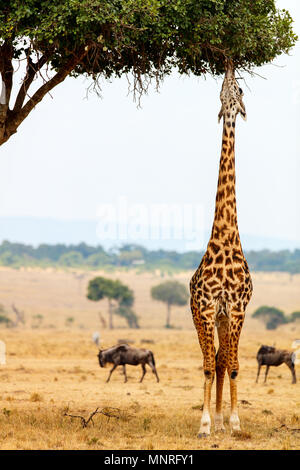 Giraffe in Masai Mara safari park in Kenya Africa - Stock Photo