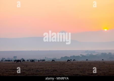 Wildebeests early morning in Masai Mara Kenya - Stock Photo