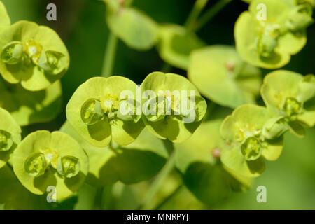 Wood Spurge - Euphorbia amygdaloides Closeup of flowers - Stock Photo