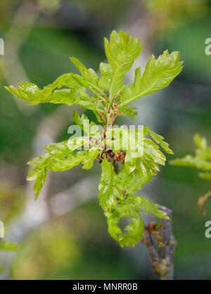 Pedunculate English Oak - Quercus robur New leaves with Catkins - Stock Photo