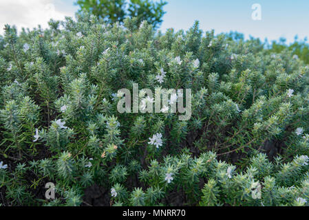 A close up of a Westringia Wynabbie Gem an Australian native salt and wind tolerant plant that is common up and down the NSW coast of Australia - Stock Photo