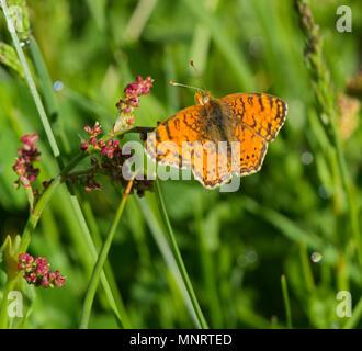 Phyciodes mylitta - Stock Photo