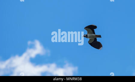 Green Plover in flight. European Northern Lapwing (Vanellus vanellus) - Stock Photo