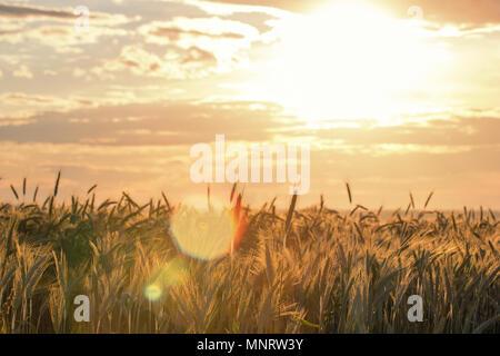Wheat ears under the sunshine. Sun shining through ripe wheat. - Stock Photo