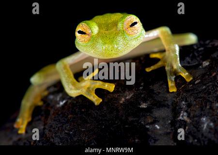 Glass frog (Hyalinobatrachium cappellie) - Stock Photo