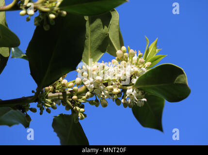 The lovely white blossom of a Holly Tree, (Ilex aquifolium). Against a background of blue sky. - Stock Photo