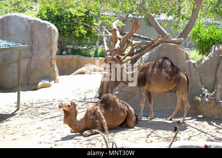 Dromedary Camels in Zoo - Stock Photo