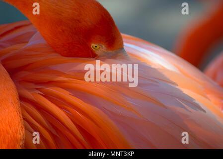 Flamingo at San Diego Zoo - Stock Photo