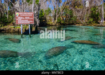 Florida manatee, Trichechus manatus latirostris, a subspecies of West Indian manatee, sign, Three Sisters Springs, Crystal River National Wildlife Ref - Stock Photo