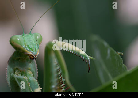 giant African mantis, Sphodromantis viridis in the wild amongst a bush in a garden in cyprus during may. - Stock Photo