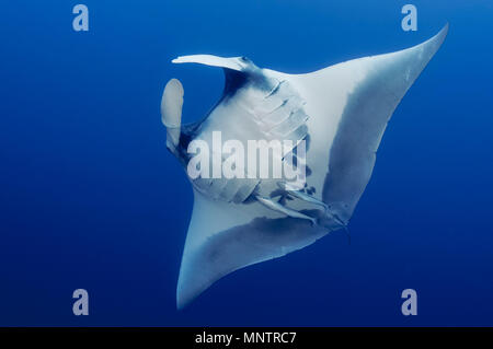 giant oceanic manta ray, Manta birostris, with common remora, Remora remora, Little Brother, Brother Islands, or El Ikhwa Islands, Egypt, Red Sea, Ind - Stock Photo