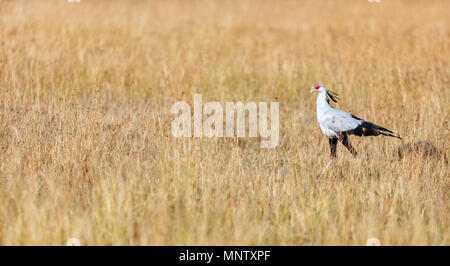 Secretary bird hunting in the savannah in Masai Mara reserve in Kenya - Stock Photo