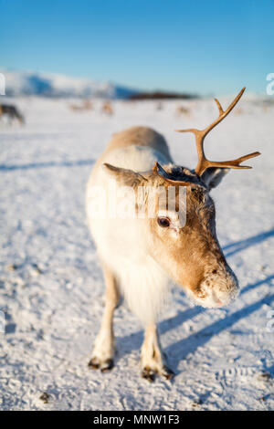 Reindeer in Northern Norway on sunny winter day - Stock Photo