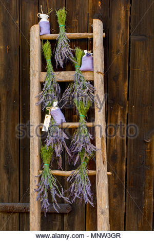 Lavender bunches hung up to dry on ladder. July Not for sale in Germany and Poland - Stock Photo