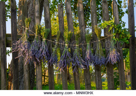 Hanging Lavandula angustifolia to dry on wooden fence. July Not for sale in Germany and Poland - Stock Photo