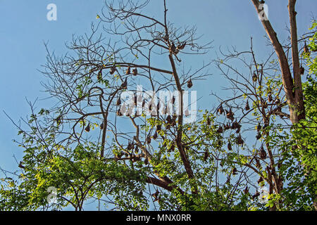 Indian flying fox (fruit bat) in trees in Kandy, Sri Lanka - Stock Photo