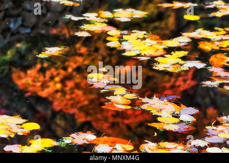 Autumn season in Australian Blue Mountains garden arount Mount Wilson town - small still water pond holding fallen yellow leaves of mapples, oaks and  - Stock Photo