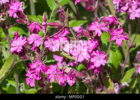 Red Campion flowers (Silene dioica) in late Spring in West Sussex, England, UK. - Stock Photo
