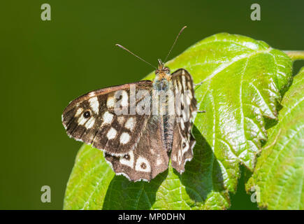 Speckled Wood (Pararge aegeria) butterfly resting on a green leaf in late Spring in Southern England, UK. - Stock Photo