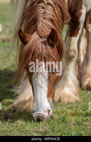 horse grazing in field - Stock Photo