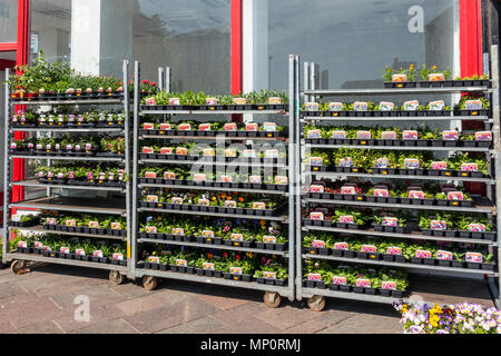 A selection of bedding plants on display for sale outside a shop in Hamilton, Scotland, UK - Stock Photo