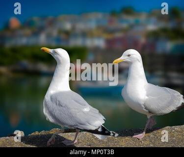 WILDLIFE: European Herring Gulls at Brixham Harbour, Devon, Great Britain - Stock Photo