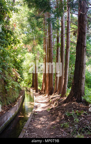 Woodland landscape with row of beautiful tall sequoia trees alongside the footpath and water irrigation channel, locally called levada. Summer season, - Stock Photo