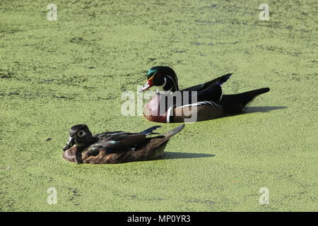 Wood Ducks in Audubon Park, New Orleans, Louisiana - Stock Photo
