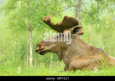 Norway, close up of a moose (Alces alces) resting in the woods. - Stock Photo