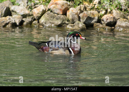 Male (drake) wood duck or Carolina duck (Aix sponsa), a colourful North American perching duck species - Stock Photo