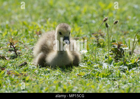 Young greylag goose or gosling (Anser anser) - Stock Photo