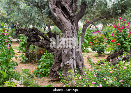 Ancient Olive Trees and young herbaceous plants living side by side in the historic Garden of Gethsemane the scene of Jesus Christ's agonising prayer - Stock Photo