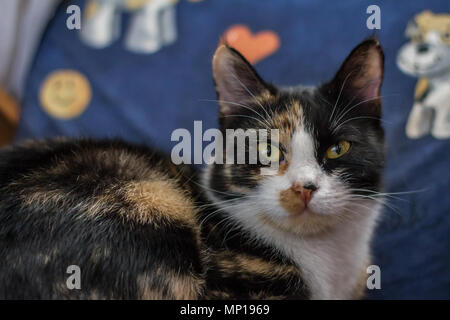 Domestic cat in piebald color lying on a chair in the house (Felis catus) - Stock Photo