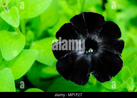 Black velvet petunia flower in garden - Stock Photo